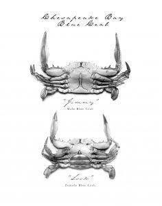 Male and female Chesapeake Bay Blue Crab